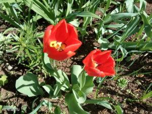Blooming spring in Kirov, tulips