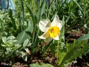 Цветущая весна в Кирове, нарциссы