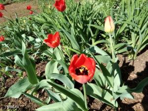 Цветущая весна в Кирове, тюльпаны