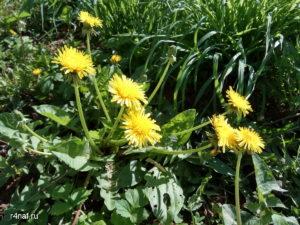 Цветущая весна в Кирове, мать-и-мачеха