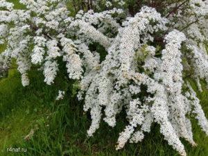 Spring-Sparkling Spiraea