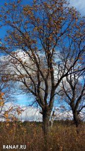 Adult oak